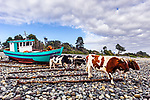 Oxen pulling boat to water, southern Chile