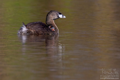 Pied-Billed Grebe Mother and Chick, Washington