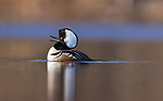 Drake hooded merganser calling on a wilderness lake in northern Wisconsin.
