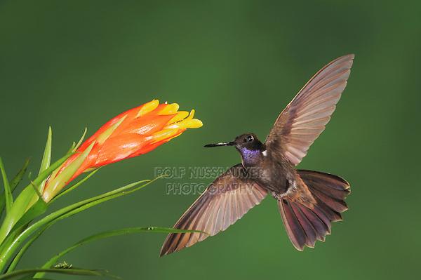 Brown Inca (Coeligena wilsoni), adult feeding from Bromeliad flower,Mindo, Ecuador, Andes, South America
