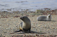 Antarctic Fur seal, Arctocephalus gazella , pups on beach at Gryviken whaling station South Orkney Islands, Scotia sea Southern Ocean, Antarctica