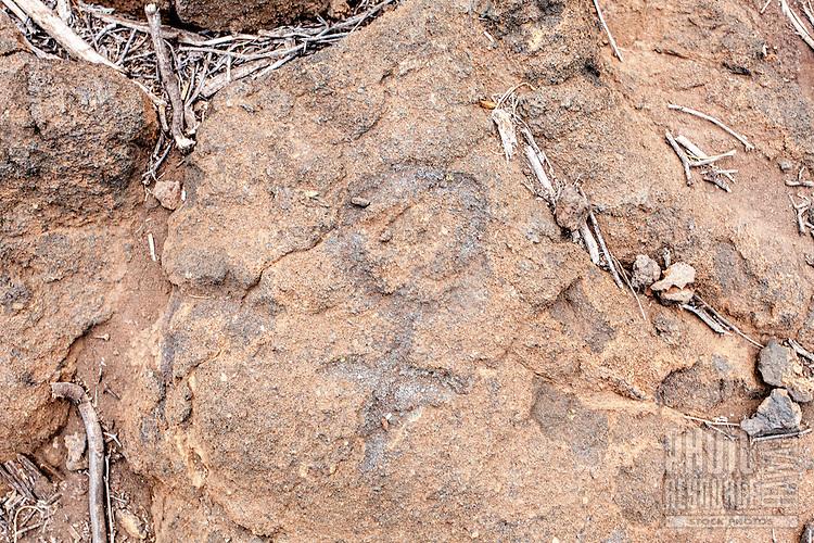 Hawaiian petroglyphs or ki'i pohaku at Puako Petroglyph Park, Big Island.