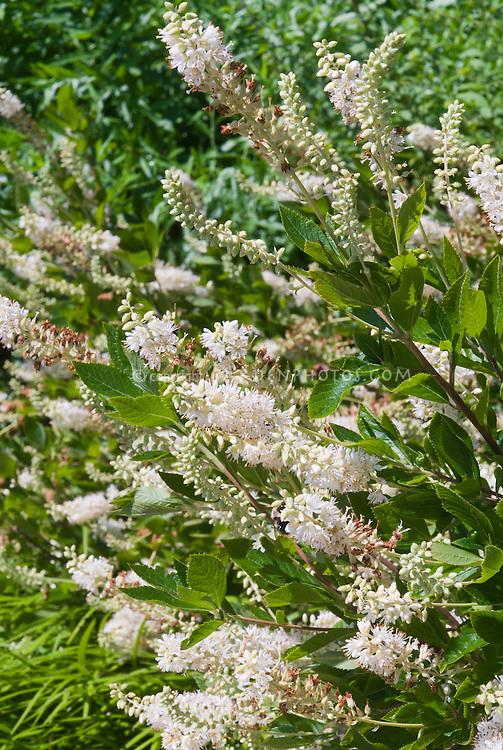Clethra alnifolia in flower