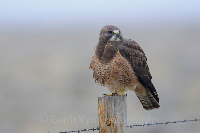 Intermediate color morph Swainson's Hawk (Buteo swainsoni). Central Wyoming. April.