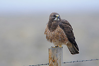 Intermediate color morph Swainson's Hawk (Buteo swainsoni). Central Wyoming. April.