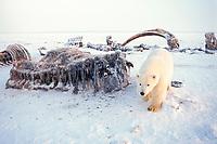 polar bear, Ursus maritimus, curious cub with bowhead whale bones, Balaena mysticetus, 1002 area of the Arctic National Wildlife Refuge, Alaska, polar bear, Ursus maritimus