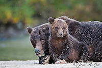 Alaska Grizzlies, Brown Bears