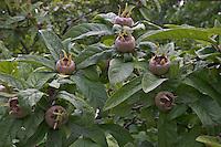 Echte Mispel, Frucht, Früchte, Mespilus germanica, Medlar, Néflier commun