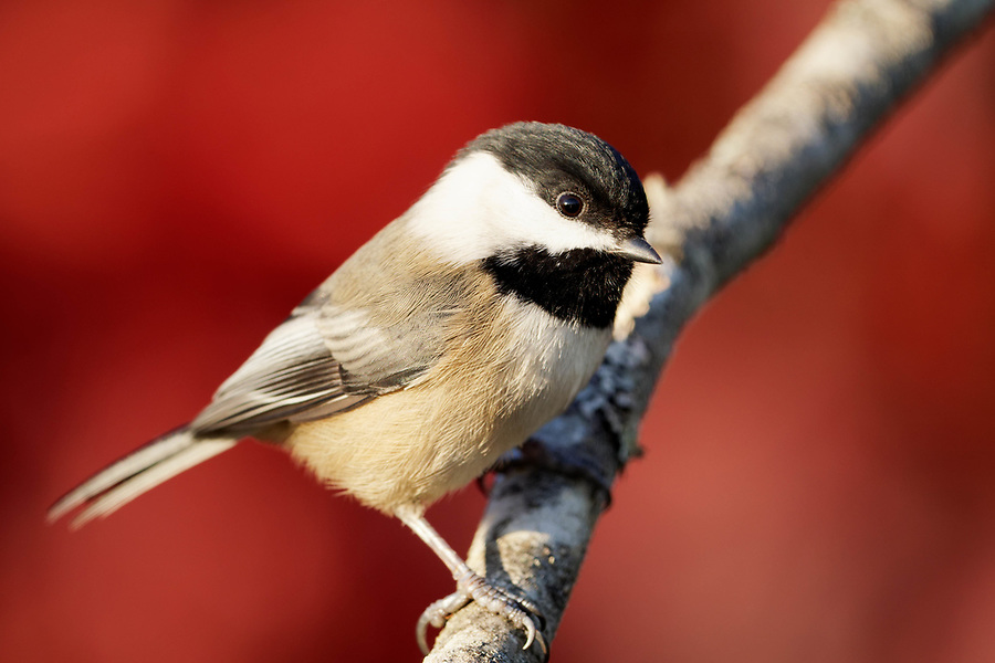 Black-capped chickadee perched on branch, autumn colors in background, Snohomish, Washington, USA