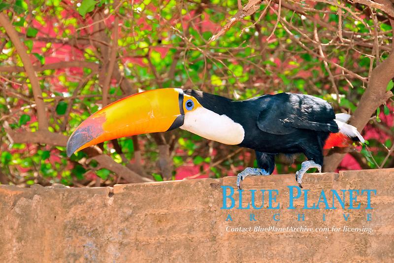 Toco toucan, Ramphastos toco, Bonito, Mato Grosso do Sul, Brazil