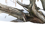 Northern short-tailed shrew (Blarina brevicauda)