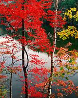 Maple tree above Eagle Lake; Pharoh Lake Wilderness; Adirondack Park and Preserve, NY