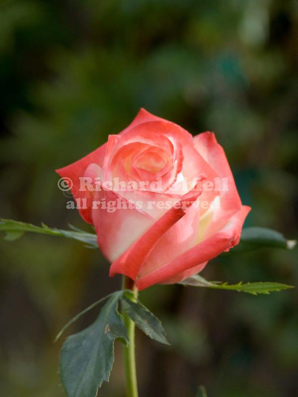 Rosa hybrid tea, Imperatrice Farah Rose