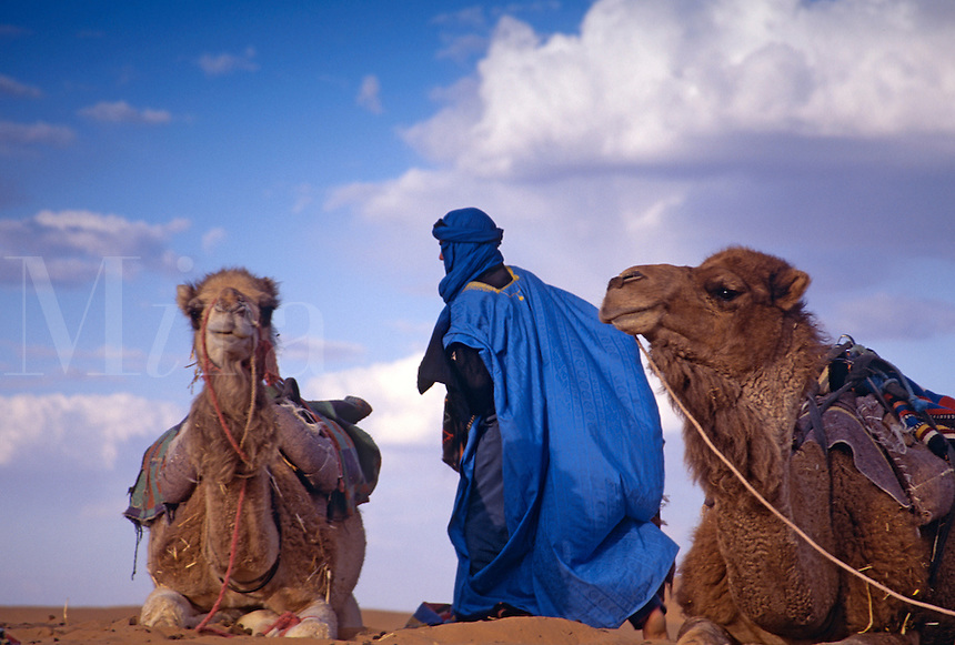 Resting camels and berber in the desert, Morocco
