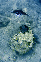 reef manta ray, Mobula alfredi, Palau, Pacific Ocean