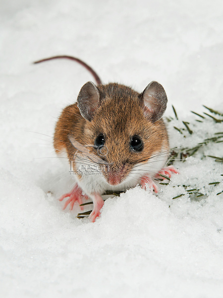 Deer Mouse (Peromyscus maniculatus) in winter. Native North American rodent ranges from Mexico to Northern Canada.