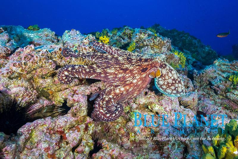 veiled octopus, Octopus veligero, Socorro Island, Revillagigedo Islands, Mexico, Pacific Ocean