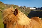 Icelandic Horses, Grundarfjordur, West Fjords, Iceland