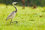 Black-headed Heron (Ardea melanocephala) sub-adult walking in meadow, Bigodi Wetland Sanctuary, Magombe Swamp, western Uganda