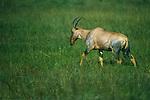 Topi, Maasai Mara