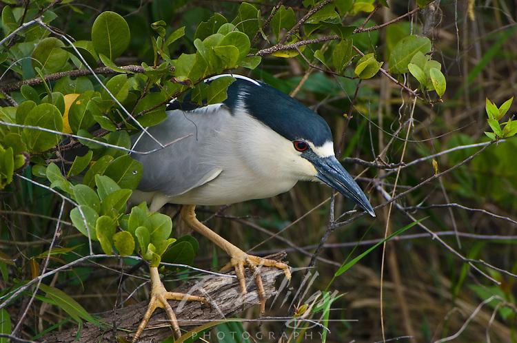 USA, FL, Everglades NP, Black-Crowned Night Heron (Nycticorax nycticorax)