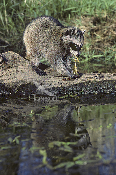 Raccoon (Procyon lotor) feeding on frog it has caught.