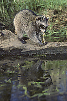 Raccoon (Procyon lotor) feeding on frog it has caught.