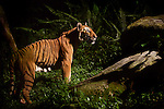 Malay or Indo-Chinese Tiger (Panthera tigris corbetti) in rainforest. Captive, Singapore Zoo. (Digitally Modified).