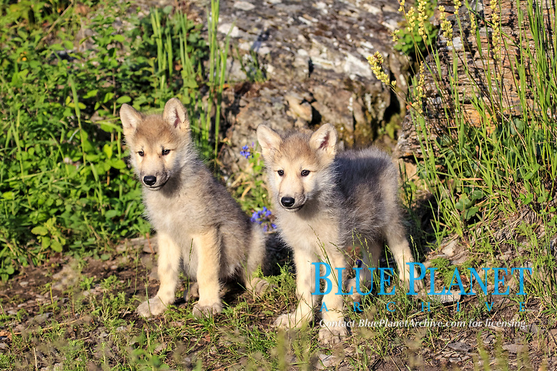 Timber Wolf (Canis lupus), two eight-week old pups, sitting and standing, captive, Montana, USA, North America