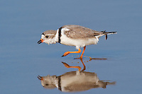 571880005 a wild adult piping plover charadrius melodus in breeding plumage walks through shallow surf with a reflection at boca chica beach on the south texas shoreline