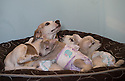 """21/04/15<br /> <br /> Draughtsman lets the lambs lie on him.<br /> <br /> Two 'sheep dogs' are helping to pamper three orphaned lambs who think the dogs are their mum.<br /> <br /> The three orphaned  lambs, who wear nappies so they can have the run-of-the-house, like to snuggle up to the dogs and share their bed with them in the kitchen by the stove.<br /> <br /> Piper, an 11-year-old rhodesian ridgeback-cross and Draughtsman, an eight-year-old ex-hunting beagle, take turns looking after the week-old lambs who often try to suckle from their doting canine 'parents'.<br /> <br /> Melissa Ebbatson, 21, said: """"These three were quite poorly, so we brought them inside so we could look after them better and give them a bit more warmth. We put them in nappies so they don't make a mess in the house.  One of the dogs was having a snooze on his bed and the lambs just jumped in and joined him. And they've all become inseparable since then.<br /> <br /> """"The dogs like to clean the lambs' faces after they've had their bottles. And they enjoying romping around the place with them,"""" said Melissa who helps to run Crossgates Farm, with her family near Tideswell in the Derbyshire Peak District.<br /> <br /> """"They seem to really care about them and go straight to them if they start bleating – they even come to find us if they think they're hungry.<br /> <br /> """"We change their nappies at least four-times-a-day - the baby boys even need to wear two!<br /> <br /> """"They are between seven and eight days old, and we hope to get them living back outside again when they are strong enough in another ten days or so – that's as long as the dogs let us!<br /> <br /> """"We're probably all a bit bonkers here but it all seems normal to us"""", she added.<br /> <br /> All Rights Reserved: F Stop Press Ltd. +44(0)1335 418629   www.fstoppress.com."""