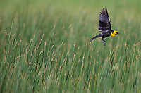 A male Yellow-headed blackbird flies to a new perch near a pond in Yellowstone.