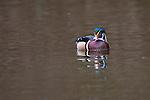 Wood duck, George C. Reifel Migratory Bird Sanctuary, British Columbia, Canada