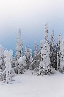 Snow load on spruce trees