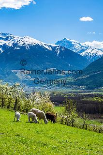 Italy, South Tyrol (Trentino - Alto Adige), Val Venosta, above Sluderno: sheep, apple blossom and Ortler Alps   Italien, Suedtirol (Trentino - Alto Adige), Vinschgau, oberhalb Schluderns: Obstbaumbluete, Schafe und Ortler-Alpen
