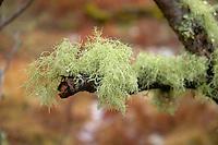 Fruiticose lichen on a tree, Drumnadrochit, Inverness.