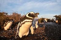 bird, Magellanic penguin, Spheniscus magellanicus, colony, Punta Norte, Peninsula Valdes, Chubut, Argentina