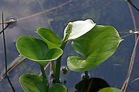 Sumpfkalla, Schlangenwurz, Drachenwurz, Kalla, Calla palustris, Bog Arum, Water Arum