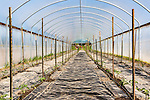 Tomato starts in greenhouse.  Community Supported Agriculture Farm, 47th Avenue Farm, plowed and ready for sprint planting.  Luscher Farms Park, City of Lake Oswego, Oregon, USA.