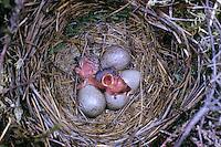 Wiesenpieper, Ei, Eier, Gelege und bettelnde, sperrende Küken im Nest, Schlupf, Küken schlüpfen gerade aus dem Ei, Wiesen-Pieper, Anthus pratensis, meadow pipit