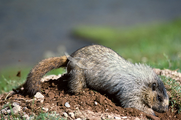 Hoary Marmot (Marmota caligata) digging out entrance to den.  Northern Rockies.  Summer.. (Also see images # Mz92,93,99, 100,102.)