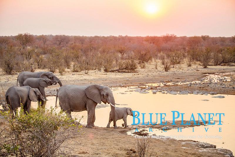 African elephants (Loxodonta africana) at a waterhole at sunset, Etosha National Park, Namibia, Africa