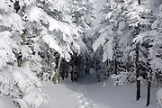 Snow covered softwood forest along the Mt Osceola Trail on the summit of Mount Osceola in the White Mountains, New Hampshire during the winter months.