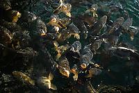 4415 / Karpfen: AMERIKA, VEREINIGTE STAATEN VON AMERIKA, CALIFORNIEN,  (AMERICA, UNITED STATES OF AMERICA), 23.05.2006:  animal, animals, biotope, biotopes, bodies of water, bony fish, bony fishes, carp, carps,  Fisch, Fische, Fischschwaerme, Fischschwarm, fish, fishes, frequent, fresh water fish, fresh water fishes, Gewaesser, great number of, Heiligtuemer, Heiligtum, horizontal format, Karpfen, Karpfenfische, Knochenfisch, Knochenfische, landscape, landscapes, Landschaft, Landschaften, large number of, Lebensraeume, Lebensraum, many, mehrere, numerous, pond, ponds, Querformat, sainthood, sainthoods, sancta, sanctuaries, sanctuary, sanctum, sanctums, school, schools, several, shoal, shoals, Sinnbild, sinnbildlich, Stillgewaesser, Suedosteuropa, Suesswasserfisch, Suesswasserfische, symbol, Symbole, symbolic, Symbolik, symbolisch, symbolism, symbolisms, symbols, Teich, Teiche, teleost fish, teleost fishes, teleosts, Tier, Tiere, various, viel, viele, Vielzahl, zahlreiche, Lake Mead,