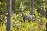 Mule Deer, Northeast Entrance, Yellowstone National Park, Wyoming