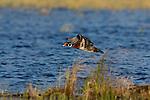 Wood Duck - Drake