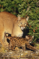 Mountain lion, cougar, or puma (Felis concolor) mother with young cub, Western U.S.