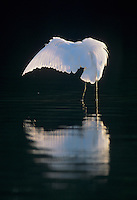 Great Egret, Ardea alba, adult preening, Sanibel Island, Florida, USA