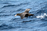Southern Giant Petrel taking off