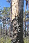 Longleaf Pine With Burned Bark